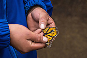 A forest guardian holds dead monarch butterflies scattered on the forest floor in their over-winter site in the El Rosario Monarch Butterfly Preserve near Ocampo, Michoacan, Mexico. The monarch butterfly migration is a phenomenon across North America, where the butterflies migrates each autumn to overwintering sites in Central Mexico.