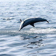 A male spinner dolphin (Stenella longirostris) leaping out of the water. The protruding tip of the dolphin's penis is just visible.