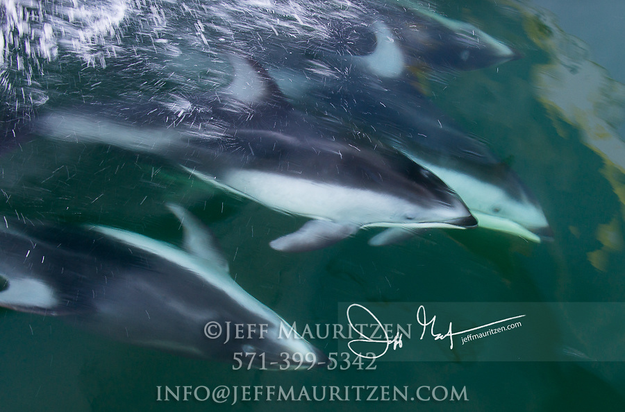 White-sided dolphins jump out of the water in Queen Charlotte Strait, part of the Inside Passage of British Columbia, Canada.