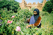 KELAAT M'GOUNA, MOROCCO - 14TH MAY 2016 - Rose farmer harvests rose flowers in Kelaat M'Gouna, Dades Valley - also known as the 'valley of roses' - Southern Morocco.