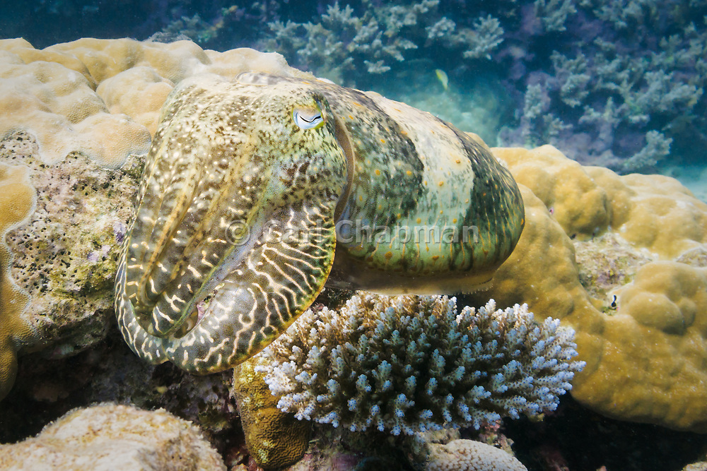 Reef cuttlefish (sepia latimanus) on coral reef  - Agincourt reef, Great Barrier reef, Queensland, Australia.