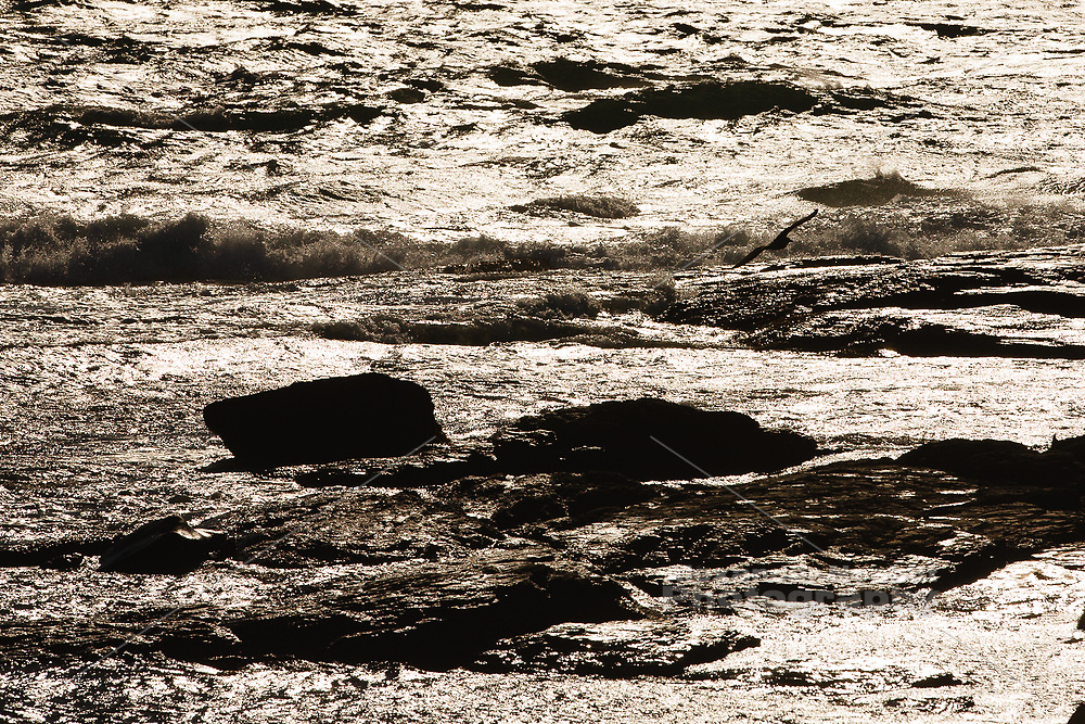 Gull flies throught the glare of crashing waves on Brenton point