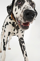 Dalmatian standing close-up