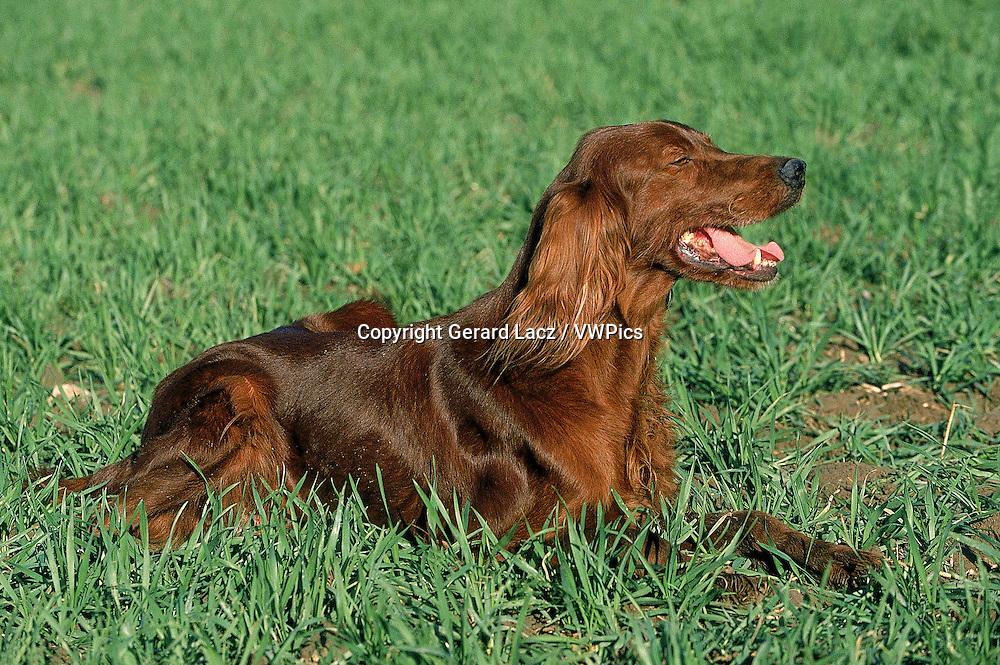 IRISH SETTER OR RED SETTER DOG, ADULT RESTING ON GRASS