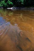 Freshwater Stingray<br /> (Potamotrygonidae)<br /> Rainforest<br /> Rewa River<br /> GUYANA. South America