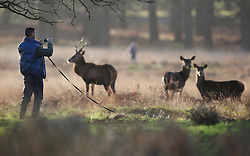 © Licensed to London News Pictures. 23/12/2015. London, UK. A dog owner takes phone photographs of deer in Richmond Park.  Photo credit: Peter Macdiarmid/LNP
