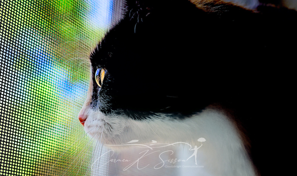 Pumpkin, a one-year-old calico kitten, looks out a window, January 28, 2016, in Coden, Alabama. Calico cats, also known as tricolors, are usually female. Only one in every 3,000 calico cats is male, and they are usually sterile or suffer genetic defects. Calico cats have been the subject of many legends because of their striking coat color. Japanese fishermen kept them on their boats to protect them from storms and jealous ancestors, and Irish folklore suggests that warts may be cured by rubbing the wart against a calico cat's tail in the month of May. (Photo by Carmen K. Sisson/Cloudybright)