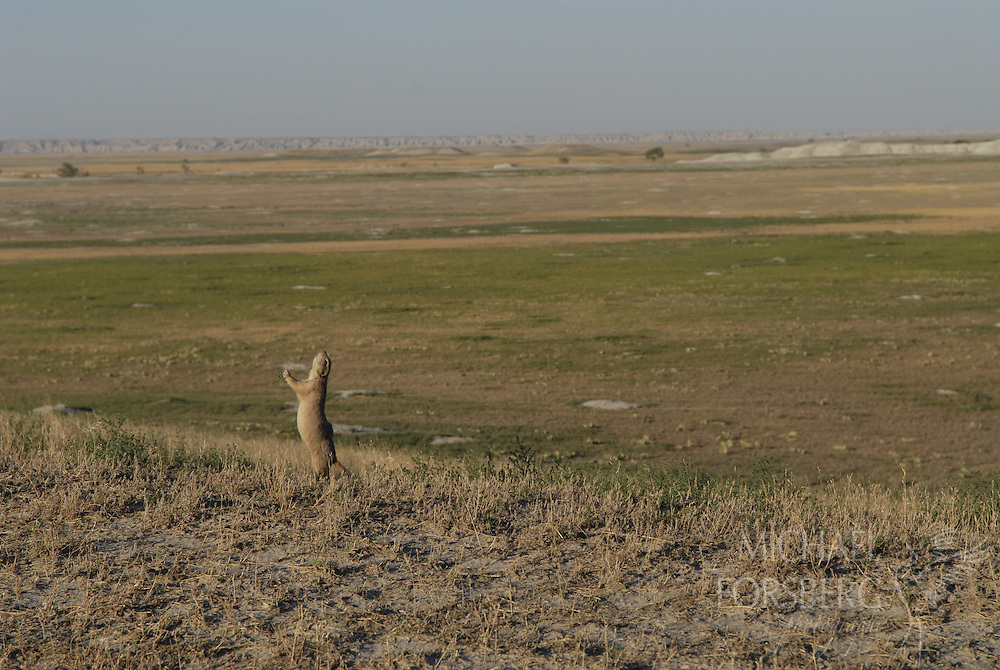 "Conata Basin, Buffalo Gap National Grassland, South Dakota..Prairie dog doing ""yip-jump"" all clear signal over vast prairie dog complex, one of the largest in North America."