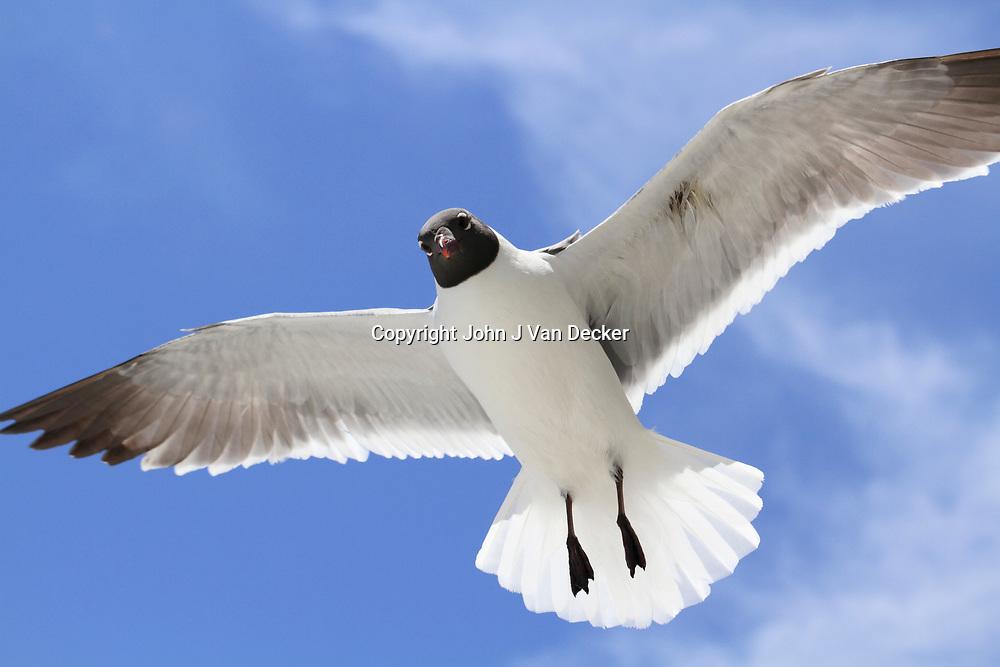 Laughing Gull, Leucophaeus atricilla, in flight