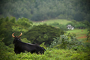 Bull lying in a field near Vinales, Cuba on Wednesday August 6, 2008.