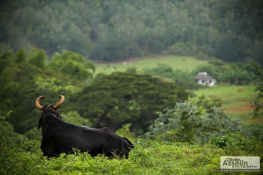 Bull lying in a field near Vinales, Cuba on Wednesday August 6, 2008.
