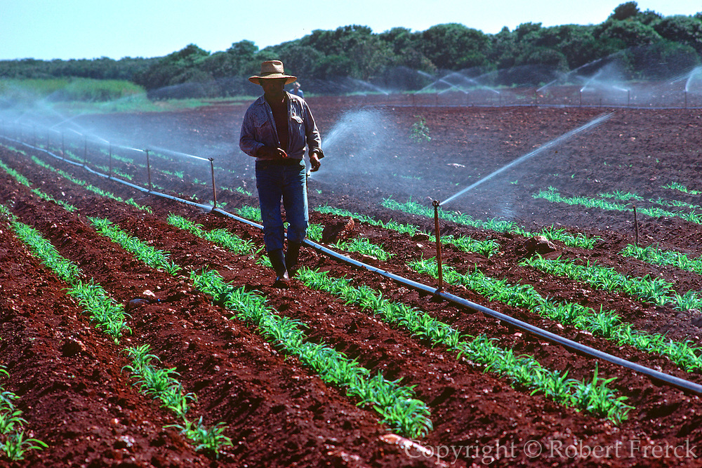MEXICO, AGRICULTURE a farmer walking through his newly planted field with an irrigation system on an  experimental farm in the Yucatan