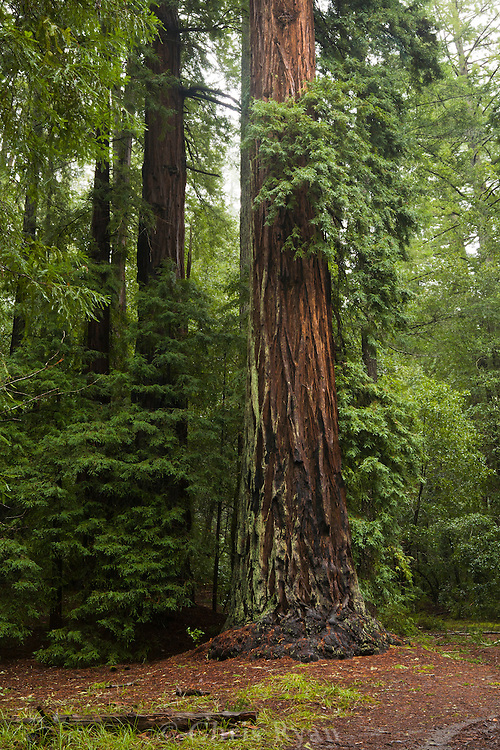 Giant redwood tree after rain in Big Basin National Park, California