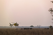 Hughes 500 helicopter (Pilot Barney O'Hara) &amp; African buffalo (Syncerus caffer)<br /> Liwonde National Park, MALAWI, Africa<br /> Chopper used as a darting platform while testing buffalo for foot-and-mouth disease in a trans-border veterinary effort.