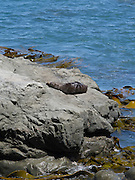 New Zealand fur seals (Arctocephalus forsteri) sun and dry on the rocks just north of Half Moon Bay Bay, Canterbury, New Zealand