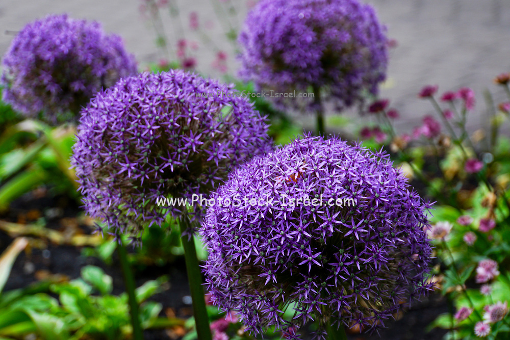 Purple Allium cristophii, common name Persian onion or Star of Persia