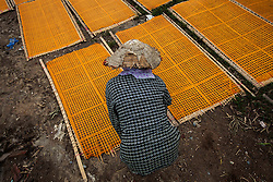 A Vietnamese woman bends down tending to large sheets of orange vermicelli drying on bamboo racks in Cu Da Village, Hanoi, Vietnam, Southeast Asia