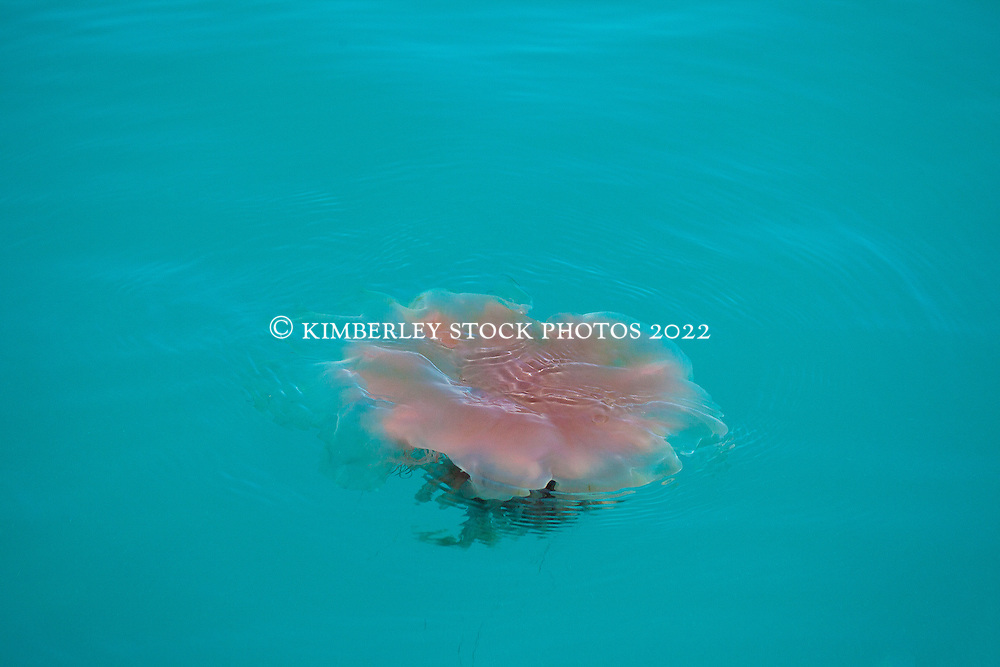 A jellyfish floating off Broome's Cable Beach.  There are seasonal innundations of these harmless jellyfish along the coast.