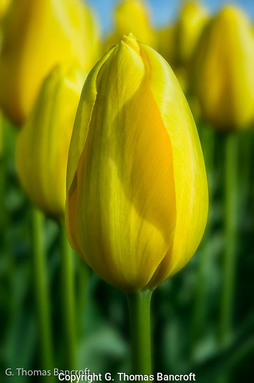 The yellow tulips buds were full and should open soon in Washington