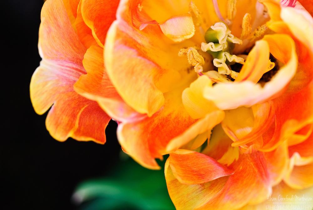 Tulip 'Charming Beauty' Keukenhof Spring Tulip Gardens, Lisse, The Netherlands.