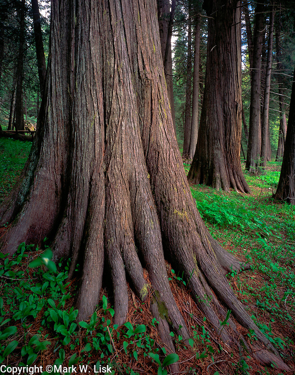Thick trunks of ancient cedar trees grow in the Devotto Grove along the Lochsa River.