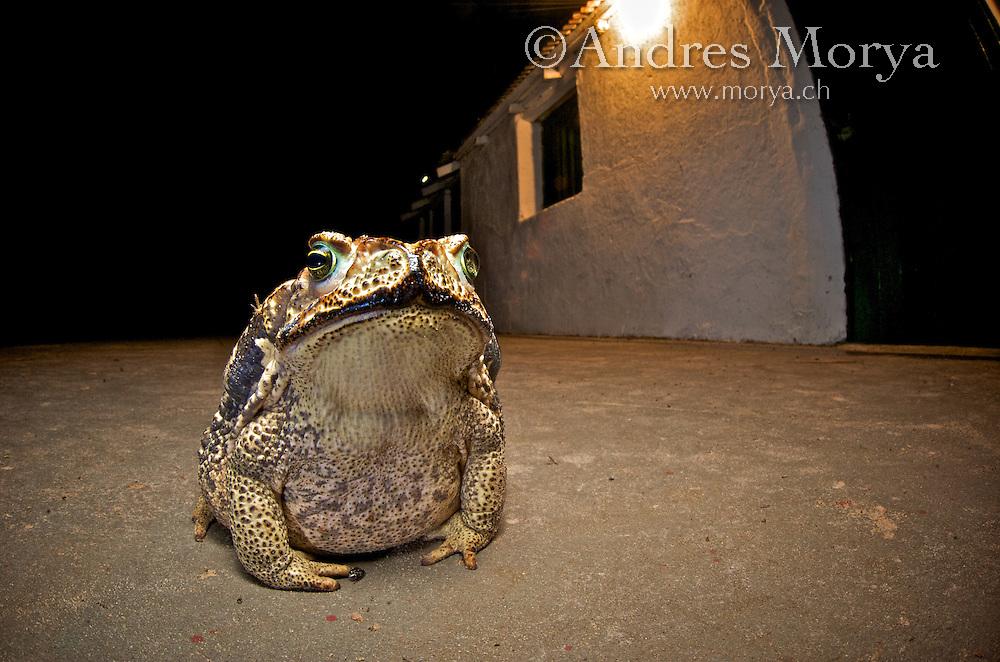 Cururu toad, Rococo toad (Rhinella schneideri), Esteros de Iberá, Argentina Image by Andres Morya