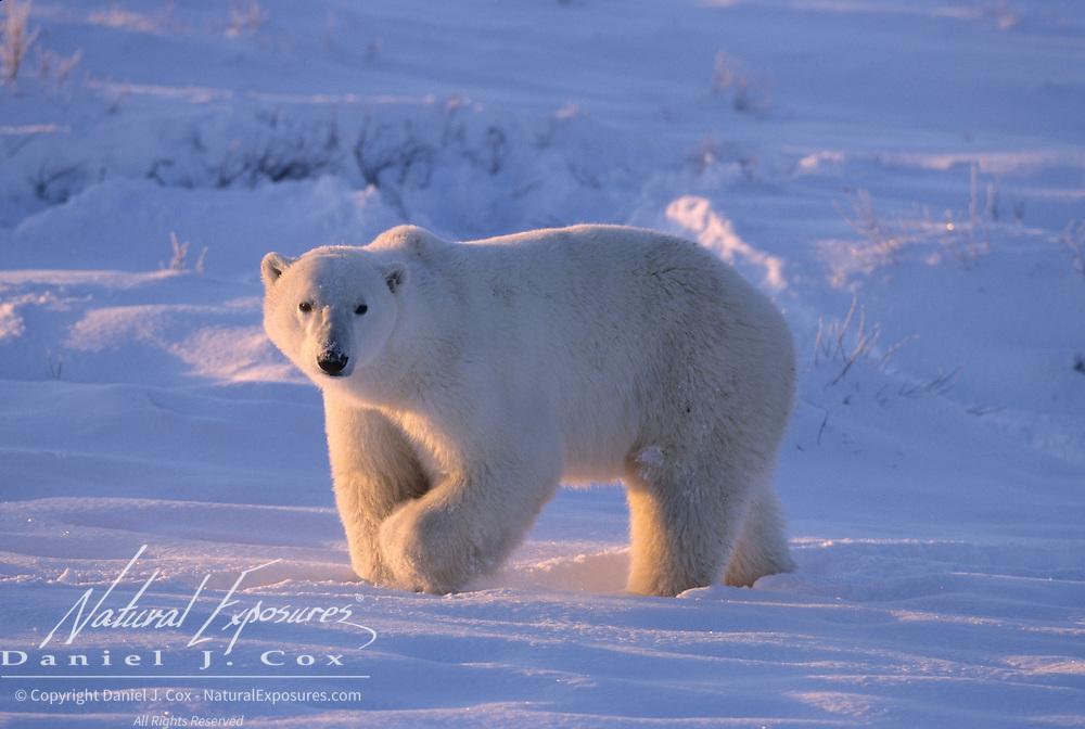 Polar Bear walking along the shores of Hudson Bay. Canada