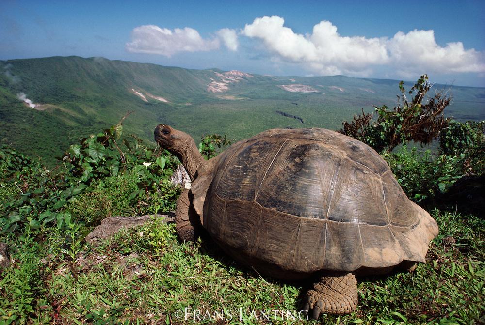 Giant tortoise overlooking island, Geochelone nigra, Alcedo Volcano, Isabela Island, Galapagos Islands