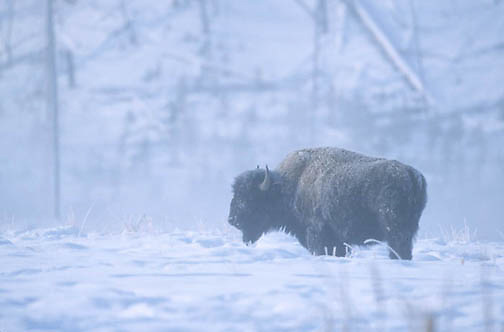 Bison, (Bison bison) Mature bull in snow in Yellowstone National Park.