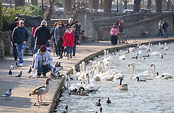 © Licensed to London News Pictures. 17/03/2016. Windsor, UK. Visitors to Windsor feed the swans on the River Thames in spring sunshine. Photo credit: Peter Macdiarmid/LNP