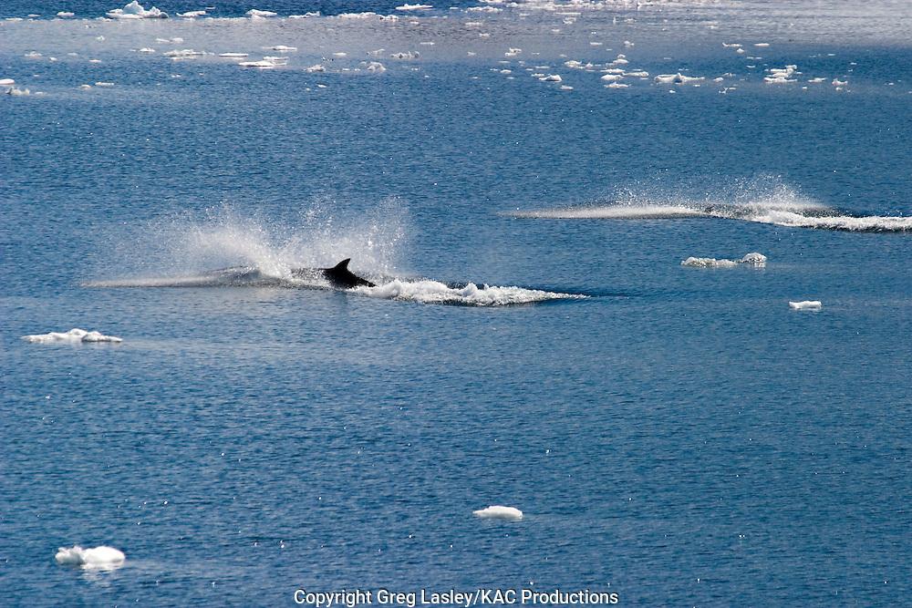 Antarctic Minke Whale.Balaenoptera bonaerensis.near Cuverville Island, Antarctica.26 December 2003