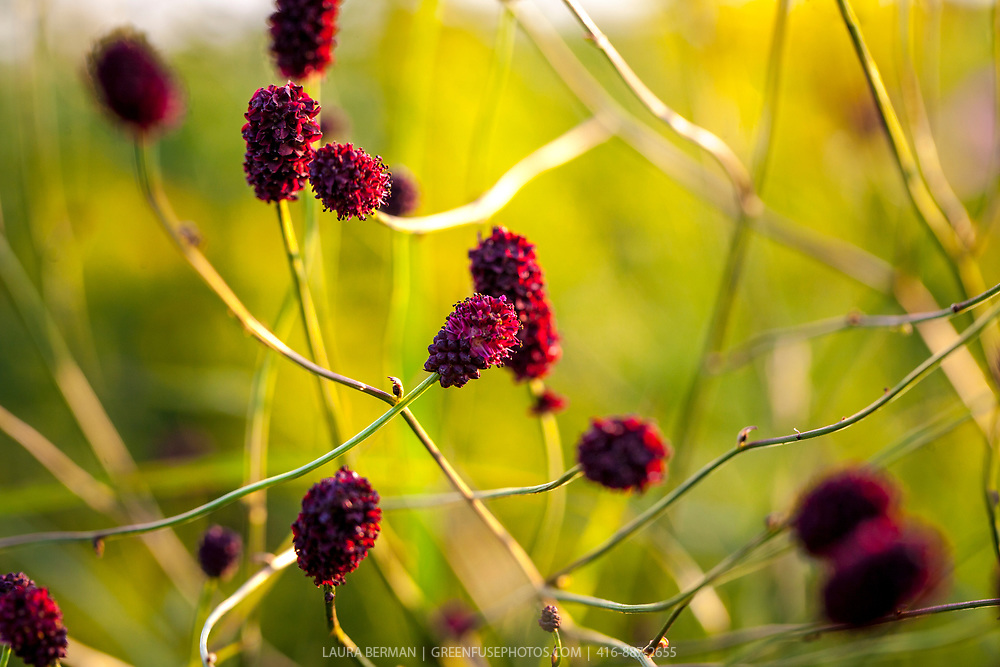 Red Thunder Great Burnet against a yellow background in a perennial garden.(Sanguisorba officinalis)
