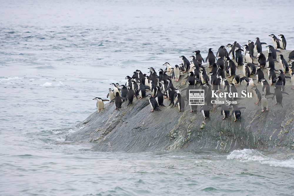 Chinstrap Penguins (Pygoscelis antarcticus) on the island, South Orkney Islands, Antarctica