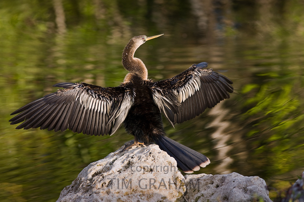 Anhinga snakebird darter, Anhinga anhinga, in the Everglades, Florida, United States of America