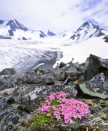 Raven Glacier in Chugach National Forest, with Moss Campion.