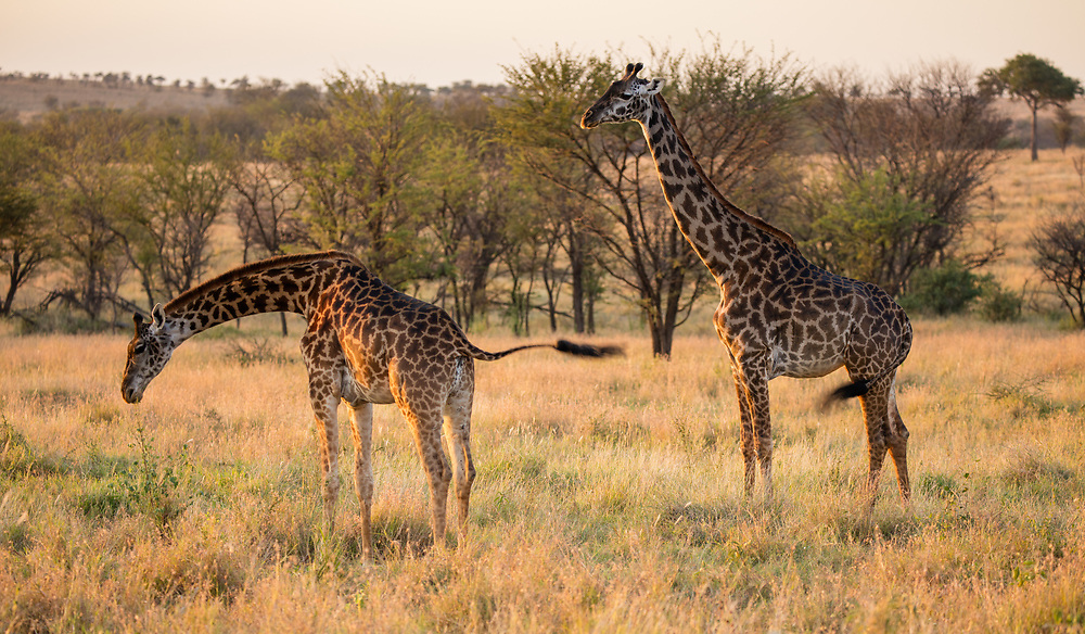 Giraffes, Tanzania