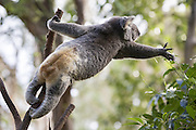 Koala <br /> Phascolarctos cinereus<br /> Reaching for leaves<br /> Queensland, Australia<br /> *Captive