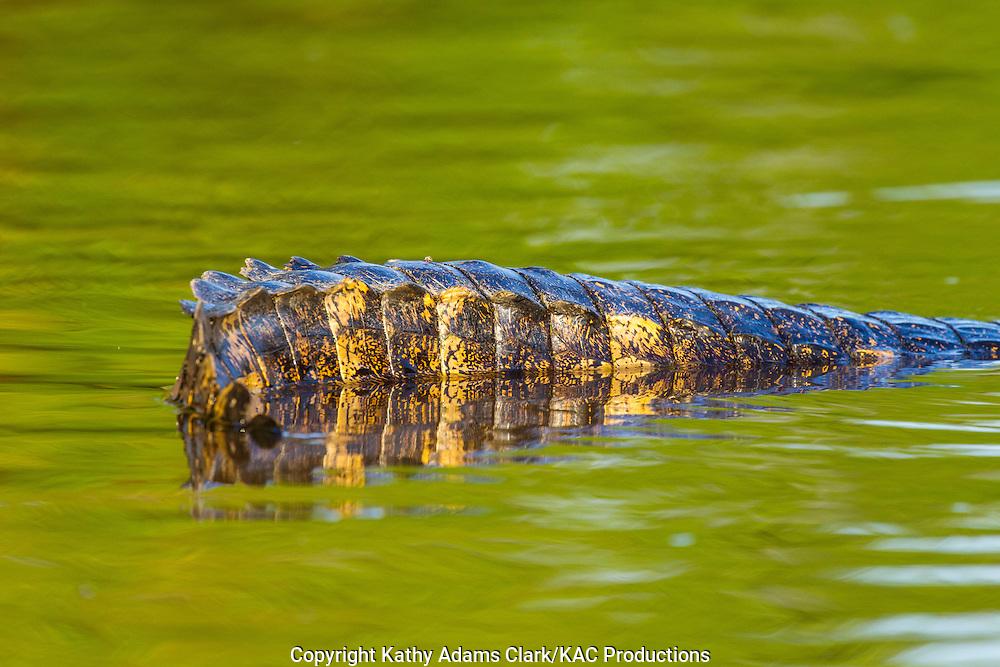 Brazil; Caiman; Caimaninae; Jacare caiman; Mato Grosso; Pantanal; Rio Piquiri, reflection, tail detail