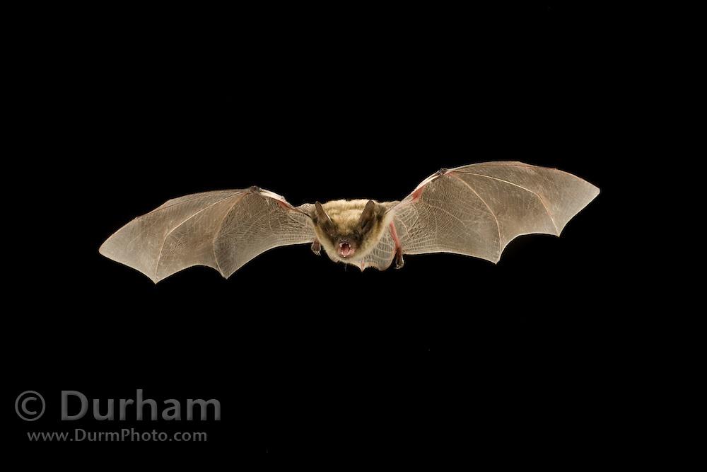 A fringed myotis (Myotis thysanodes) bat. Coconino National Forest, Arizona.