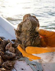 Live Eastern Oyster (Crassostrea virginica) held by Texas Parks & Wildlife Coastal Fisheries Field Technician, Claire Iseton, after random dredge sample in Galveston Bay, Texas.