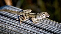 Brown Anole Lizard. Weedon Island Nature Preserve, Pinellas County, Florida. Image taken with a Nikon D300 camera and 80-400 mm VR lens (ISO 200, 400 mm, f/5.6, 1/500 sec)