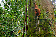 A Sumatran orangutan hangs out on a mossy tree trunk, revealing lots of rainforest context.