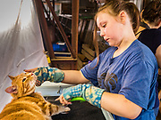 27 JUNE 2019 - CENTRAL CITY, IOWA: AVA LANGE, 11, brushes her cat, Ziggy, before the cat show at the Linn County Fair. Summer is county fair season in Iowa. Most of Iowa's 99 counties host their county fairs before the Iowa State Fair, August 8-18 this year. The Linn County Fair runs June 26 - 30. The first county fair in Linn County was in 1855. The fair provides opportunities for 4-H members, FFA members and the youth of Linn County to showcase their accomplishments and talents and provide activities, entertainment and learning opportunities to the diverse citizens of Linn County and guests.       PHOTO BY JACK KURTZ