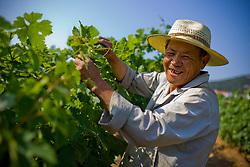 Farmer Li Guangfu works in the Huadong Winery in Qingtao, China, June 23, 2009.