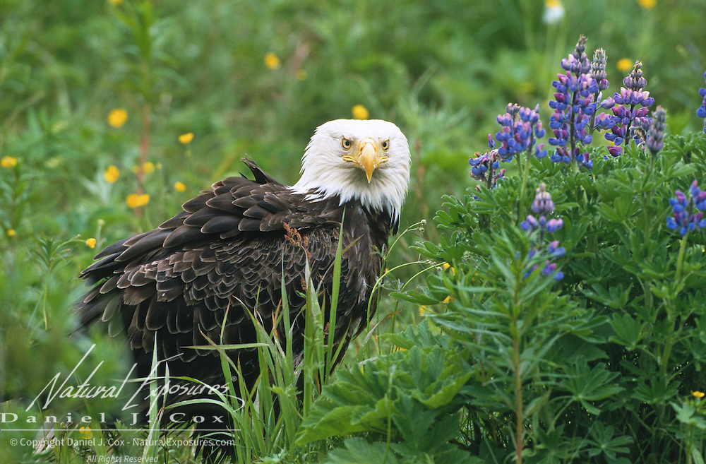 Bald Eagle (Haliaeetus leucocephalus) among the wildflowers. Aleutian Islands, Alaska
