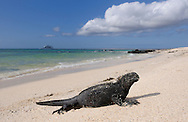 Marine Iguana (Amblyrhynchus cristatus), Las Bachas Beach, Santa Cruz Island, Galapagos Islands, Ecuador