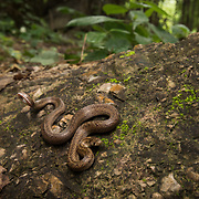 Barron's Kukri Snake (Oligodon barroni) with defensive tail display in Sai Yok district, Kanchanaburi, Thailand
