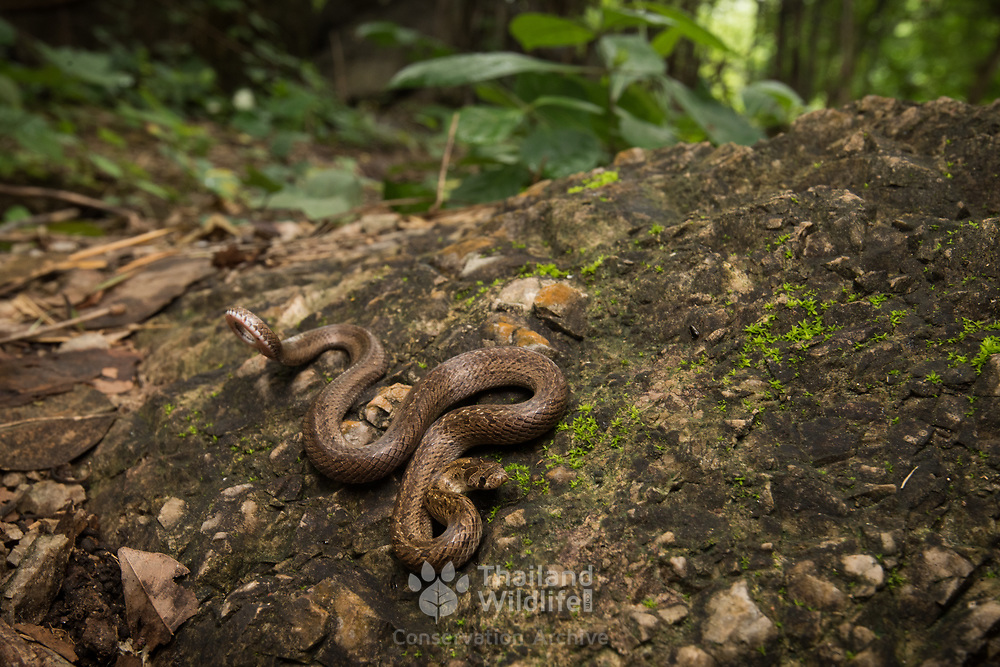 Barron's Kukri Snake (Oligodon barroni) with defensive tail display in Sai Yok district, Kanchanaburi, Thailand