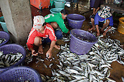 Mar 22, 2009 -- SAMUT SAKHON, THAILAND: Burmese immigrants work sorting fish on the docks in Samut Sakhon, Thailand. Samut Sakhon is a fishing port and market town. Thousands of Burmese immigrants, some legal and some undocumented, work in the fisheries in town.  Photo by Jack Kurtz