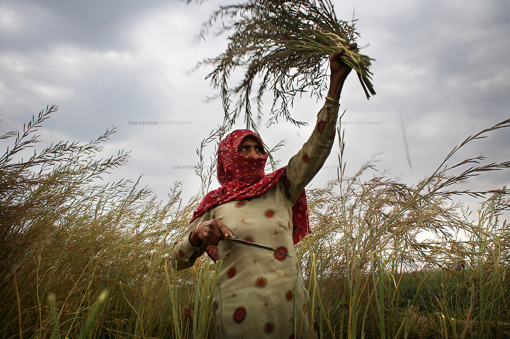 "Bhateri, age 65, harvests a mustard crop. Bhateri is an agricultural labourer from Lagarpur village in Haryana. She and other labourers are particularly vulnerable to the development of SEZs. Unlike land-owning farmers, she will receive no compensation for the acquisition of land and it is almost certain that she will not be offered employment in the high-tech industrial facilities proposed in SEZs. ..Reliance Industries (RIL), India's largest private company, has been granted a license to acquire and develop 25,000 acres of land as a Special Economic Zone (SEZ) in Jhajjar district in the state of Haryana. This land borders Delhi and is at present almost exclusively agricultural. The land has huge potential value as it borders Delhi and will be serviced by the proposed Kundli-Manesar-Palwal Expressway. At present RIL are offering farmers INR2.2 million (£27,000) per acre. Many of Jhajjar's farmers are refusing to sell and have joined a national struggle to resist the development of SEZs. ..India's Special Economic Zones (SEZs) are areas of land owned by private companies which are deemed to be foreign territory for the purpose of trade, duties and tariffs. SEZs have been declared ""public utilities"" making collective bargaining and strikes illegal. SEZs are not subject to India's Environment Protection Act. It is questionable whether SEZs are consistent with the Indian constitution. The Indian finance ministry is concerned that SEZs will distort land, capital and labour costs. SEZ exemption from tax and duties will result in lost revenue for India...The law allowing for the establishment of SEZs in India came into effect in February 2006. The law was not debated in parliament. According to the Citizen's Research Collective, a total of 760 SEZs have been approved in 20 states across India. At present most of the land designated for the development of SEZs is agricultural. The Government of India says it has promoted the scheme to encourage exports, create jobs and rai"